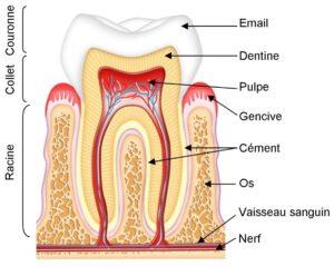 composition-dents